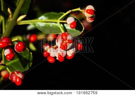 Fruit capsules of a Japanese Spindle on a dark background
