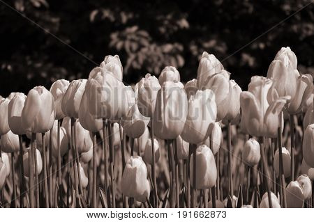 Close-up view of a field of softly colored tulips. Sepia toned.