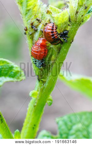 The Larva Of The Colorado Potato Beetle Eat The Leaves.
