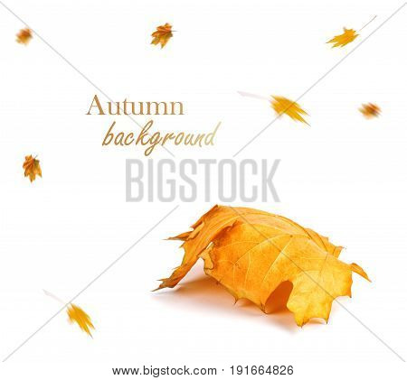 Autumn Maple Branch With Leaves Isolated On Background