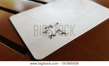 Closeup shot of Dead mosquitos flipping over white card.