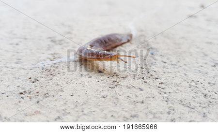 Slug snail,macro,slug on a way with many small stones