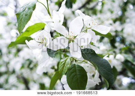 Blossoms of an apple tree. White flowers on a branch