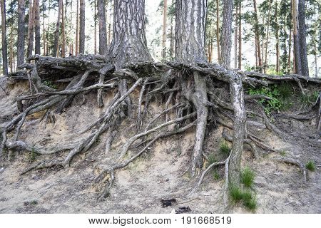 Tree roots. Tree roots in the forest