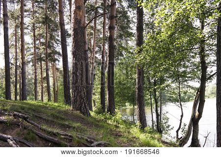 Trees in the forest by the lake. Deciduous and coniferous trees. Forest Landscape