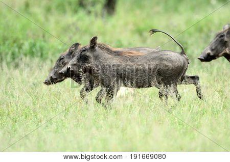 desert warthog (Phacochoerus aethiopicus) in african natural park