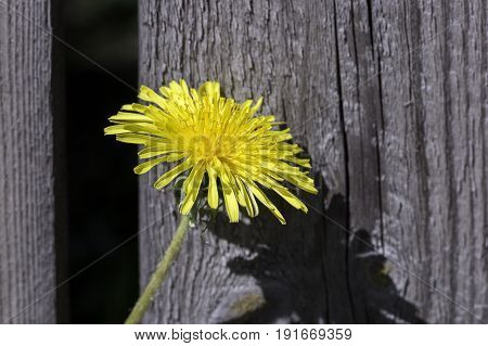 A Common Dandelion Close Up with wood behind it.