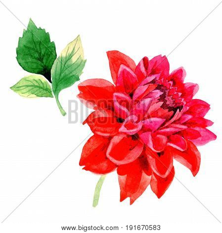 Wildflower dahlia flower in a watercolor style isolated. Full name of the plant: red dahlia. Aquarelle wild flower for background, texture, wrapper pattern, frame or border.