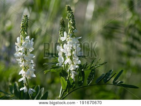 Goat's rue (Galega officinalis) plant in flower. White flowers on plant in the pea family (Fabaceae) growing on parkland in the UK