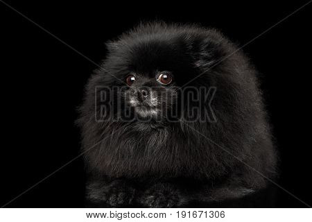 Close-up frightened Pomeranian Spitz Dog on Isolated Black Background