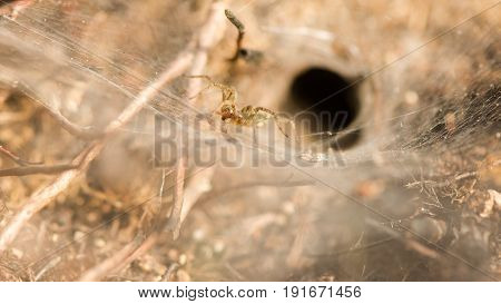 Labyrinth spider (Agelena labyrinthica). Female on large sheet web amongst heather from which this animal gets its name in the family Agelenidae