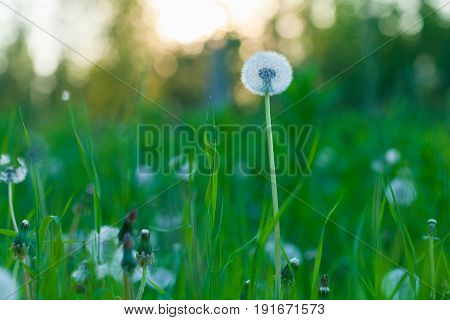 Fluffy dandelion flower against the background of the summer sunset and green grass
