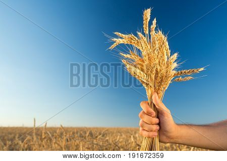 the man holding the ripened gold cones of wheat on blue sky and wheat field background. empty space for the text. , agriculture, agronomics, food, production, organic, harvest concept.