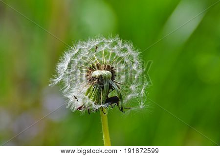 Dandelion with seeds blowing away in the wind. Dandelion seeds in nature on green background