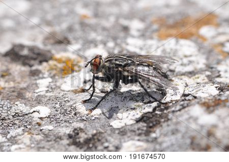 Macro of house flies or fly insect close up on the rock in nature