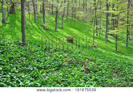 Wild garlic or bear garlic growing in forest in spring. Ramson field under a mountain. Green floor in the woods