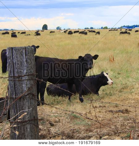 Two cows near fence post with the rest of the herd in the background.