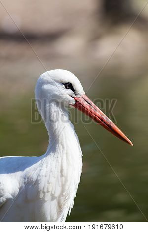 White stork - Ciconia ciconia - in profile with copy space. Beautiful wild migratory bird with long orange beak and white plumage.