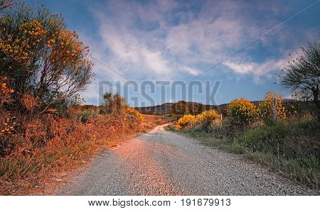 Seggiano, Grosseto, Tuscany, Italy: landscape of the countryside on the slopes of the Monte Amiata at sunset with dirt road and bush of flowering gorse