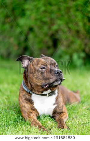 Horizontal bull breed photo. Staffordshire bull terrier lying on a grass field with bokeh background. In soft focus.