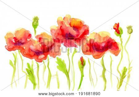 Hand Painted Watercolor Flower Red Poppy. Wet painting illustration
