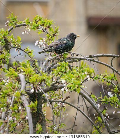 starling bird sitting on a branch enjoy cherry blossom. springtime in the city park