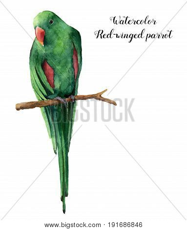 Watercolor red-winged parrot. Hand painted tropical bird isolated on white background. Nature animal illustration. For design, print or background