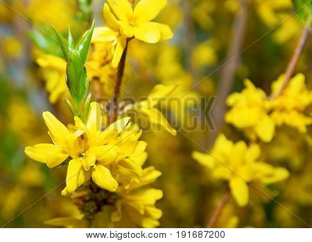 bright yellow flowers on a Bush, many flower racemes and one sits a beautiful spider. yellow bushes