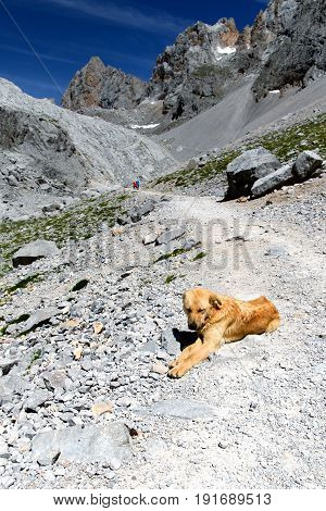 The red dog lies on a stony mountain track. A look in mountains in national park of Picos de Europa Fuente De. Sunny summer day.