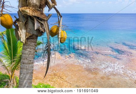 Coconuts hang in tropical scene palm trees and fronds swaying in breeze over ocean distant horizon and below sky.