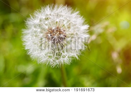 Close up of white dandelion flower with green background and sun light.