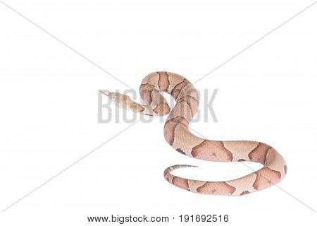 Copperhead Agkistrodon contortrix isolated on white background