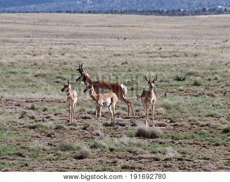 Pronghorn Family in Prescott Valley, Arizona Highlands