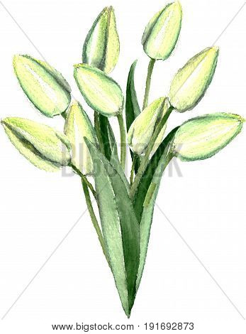 Watercolor hand drawn white tulips bouquet. Decorative floral composition for wedding design. Painted by watercolor spring fresh bouquet. Yong green tulips.