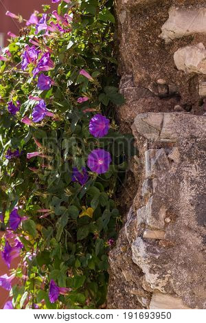Bush With Violet Flowers On Wall In Sunny Summer Day