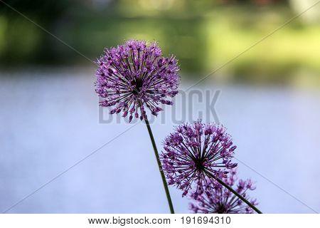 Flowering Onion summer garden Latvia violet collor