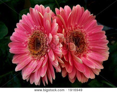 Symmetric Daisies