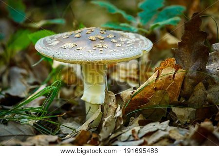 Death cap (Amanita phalloides) poisonous mushroom in the forest