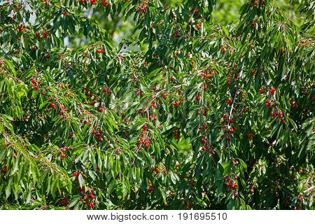 Branches Of Cherry Tree With Fruits