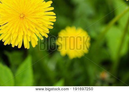 Yellow dandelion flower in a garden close-up.
