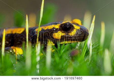 Head Of Fire Salamander In Bright Green Moss