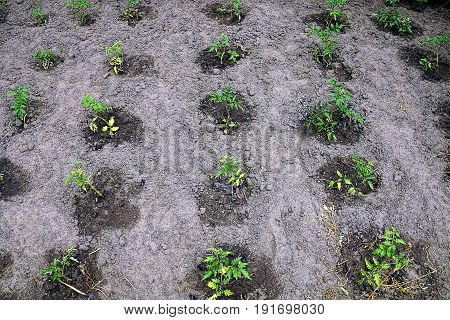 Green sprouts of tomatoes in the garden
