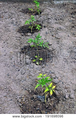 Small bushes of plants on a bed in the ground