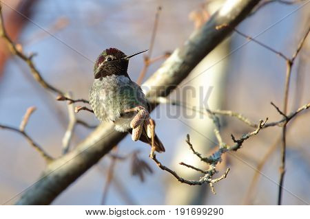 Male Anna's Hummingbird sitting on a branch