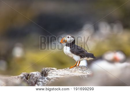 Puffin Standing On Rock In Breeding Colony