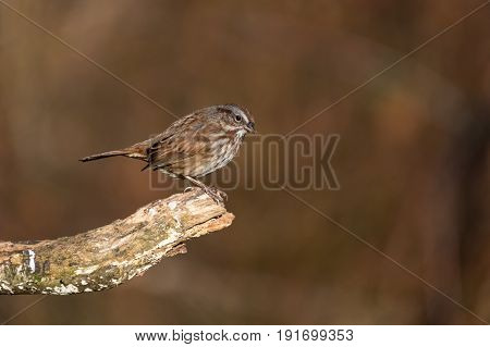 a song sparrow sitting on a branch
