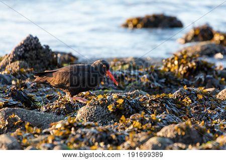 Black Oystercatcher on beach british columbia Canada