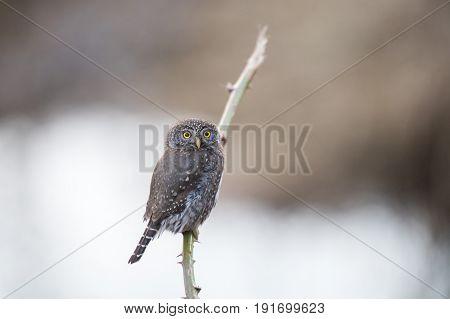 Northern pygmy owl port coquitlam BC Canada