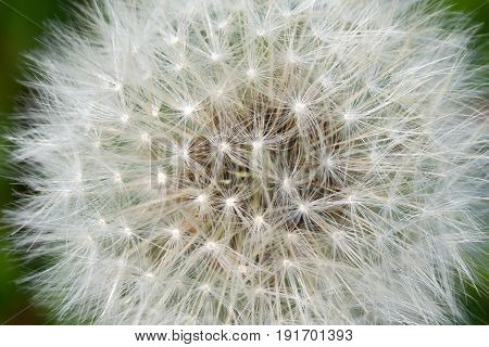 Background of the head of a dandelion with seeds.  Delicate dandelion seeds. Wild flower in the meadow.