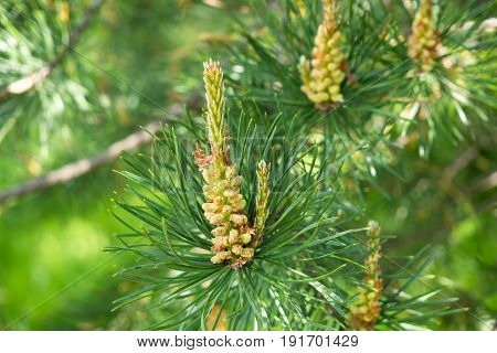 Growth of young fir cone on a branch. Pine sprout in the needles of the tree. The nature of the forest in detail.